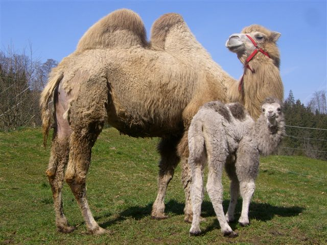 kamele03.jpg