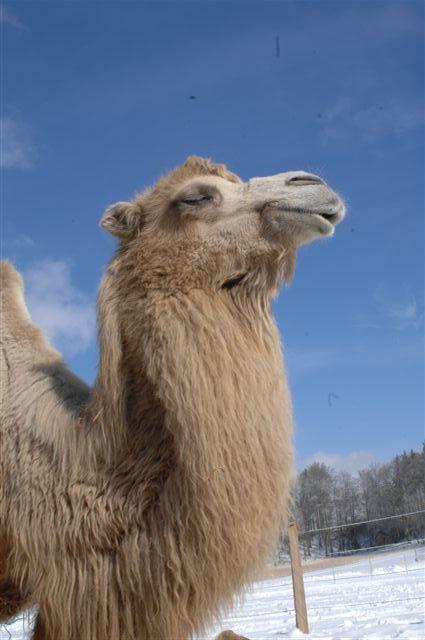 kamele07.jpg